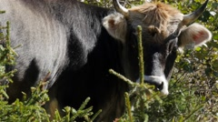 medium close-up - Cattle on meadow among trees - stock footage