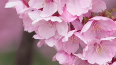 Detail and close view of Sakura tree branches and flowers in spring time. Stock Footage