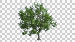 Green Ash Chromakey Isolated Tree Thin Trunk Fluttering Green Leaves Chroma Key Stock Footage