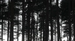 Old pine trees sway and rustle in wind against evening sky Stock Footage