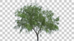 Honey Mesquite Chromakey Isolated Tree Thin Trunk Narrow Fluttering Green Stock Footage