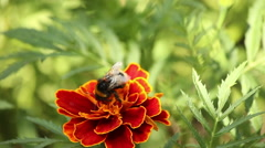 Bumble bee on a flower. - stock footage