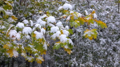 Yellow leaves with Snow Stock Footage