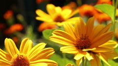 Yellow flowers in the flowerbed. - stock footage