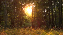 Evening sunlight creates golden glow through forest scenery. Stock Footage