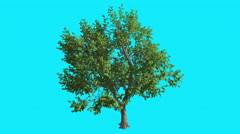 Green Ash Chromakey Isolated Tree Thin Trunk Fluttering Green Leaves Chroma Key - stock footage