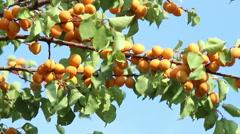Ripe apricots on tree. Stock Footage