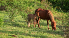 Big And Small Horse In The Meadow. Stock Footage