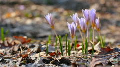 Crocuses. Spring flowers. Stock Footage
