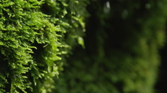 CLOSE UP: Water drops dripping off a wet moss Stock Footage