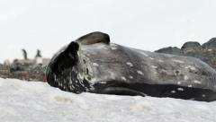 Weddell seal Yawning and scratch - stock footage