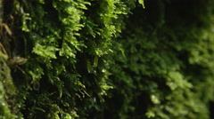 CLOSE UP: Water drops falling off a wet moss Stock Footage