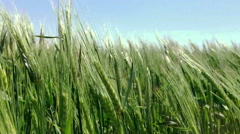 Green rye sways in the wind сlose-up - stock footage