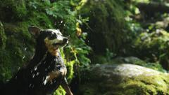 SLOW MOTION: Cute small dog catching a water with his mouth Stock Footage
