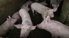 Group of hog swine or pigs in a pig pen shed sty on pork farm Stock Footage