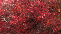 Slow reveal of a red maple trees in full fall colors in Zion National Park Stock Footage