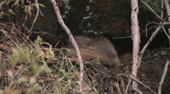 A rock squirrel searches for food Stock Footage