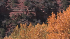 Winds gently moved yellow cottonwood trees in full fall color Stock Footage