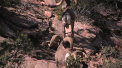 Two desert bighorn sheep rams work there way up a mountain Stock Footage