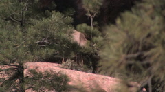 A desert bighorn sheep head butts a pine tree preparing for mating season Stock Footage