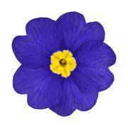 Blue and Yellow Primrose Flower Isolated - stock photo