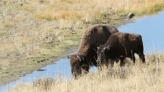 Bison, Buffalo, Yellowstone National Park Stock Footage