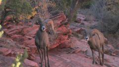 Two desert bighorn sheep rams walk toward the camera to investigate - stock footage