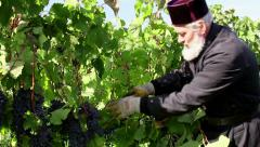 Old monk harvesting grapes Stock Footage