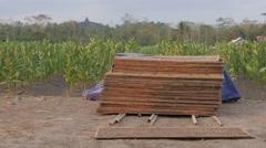 Men collecting dried tobacco,Borobodur,Java,Indonesia Stock Footage