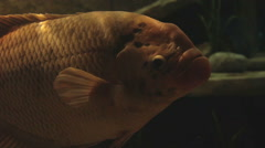 big fish swimming in an aquarium close up - stock footage