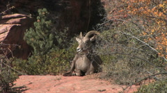 Stock Video Footage of A desert bighorn ewe chews her cud