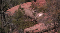 Stock Video Footage of Two desert bighorn sheep ewes lay down to chew there cuds