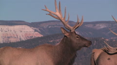 A large elk studies the landscape Stock Footage