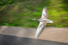 Greylag goose in fast flying speed from insight. Conceptual speed by paning Stock Photos