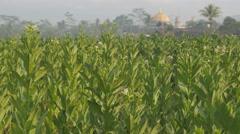 Tobacco plantation ,Borobodur,Java,Indonesia Stock Footage