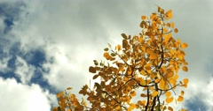 4K leaves of golden orange aspen tree with blue sky clouds behind it fall day Stock Footage