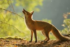 Red fox from side standing in beauty autumn backllight and looking up - stock photo