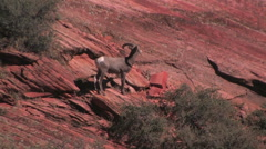 The camera slowly pulls away revealing a group pf desert bighorn sheep Stock Footage