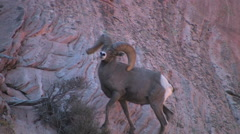 Desert Bighorn sheep eye the camera at Zion National Park Stock Footage