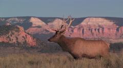 A bull elk casually walks in the high deserts of Utah Stock Footage