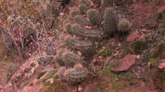 Strawberry Hedgehog cactus thrive in the sandy soils of Zion National Park - stock footage