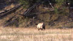 Stock Video Footage of Bull  Elk in the Fall Rut