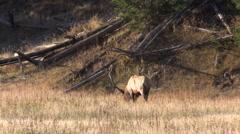 Bull  Elk in the Fall Rut Stock Footage