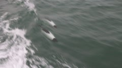 Commerson's dolphin Stock Footage