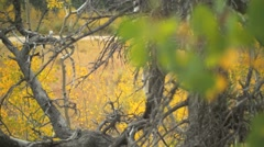 rack focus from dead tree branches to green aspen leaves in Colorado mountains - stock footage