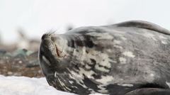 Weddell seal resting - stock footage