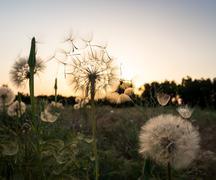 dandelion fuzz swelled drops - stock photo
