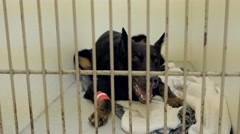 Dog with bandage on leg rests in kennel at veterinarian clinic. Stock Footage
