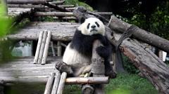 Panda sitting on wooden terrace, dazing Stock Footage