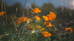Close Up of Flowers on Sunny Day Beautiful Orange Flowers in the Breeze - stock footage